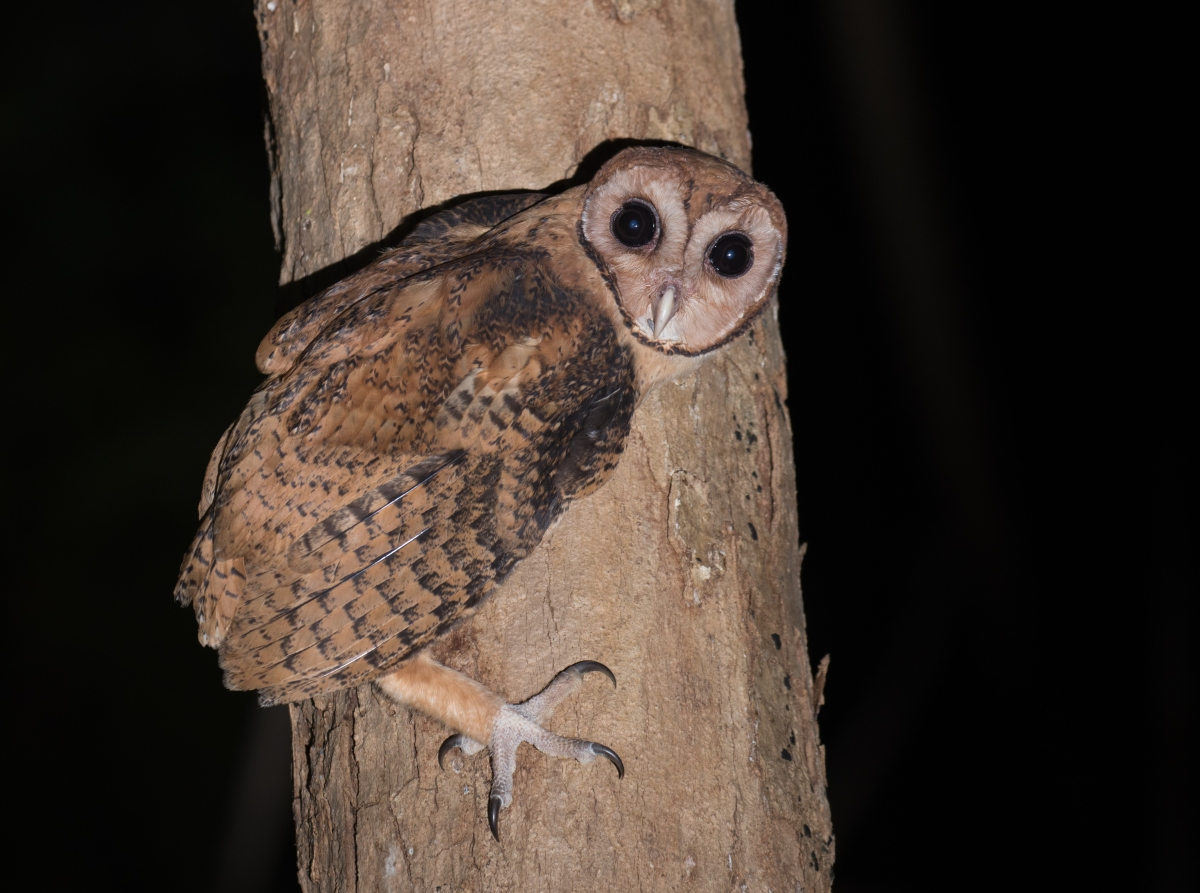 Sulawesi - Indonesia - Ross Gallardy Does NOT Dip Owls