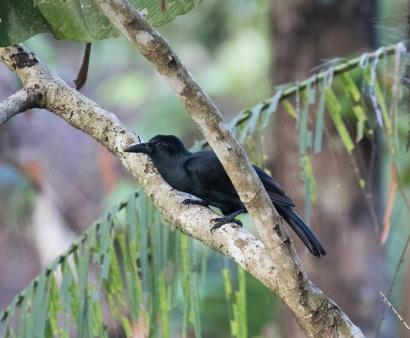 Obi Paradise Crow