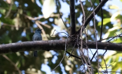 Island Flycatcher