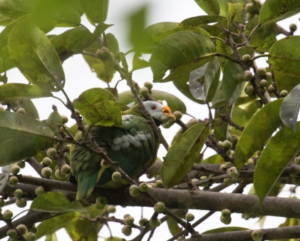 Carunculated Fruit-Dove