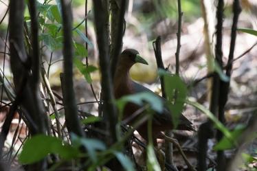 Sulawesi Bush Hen