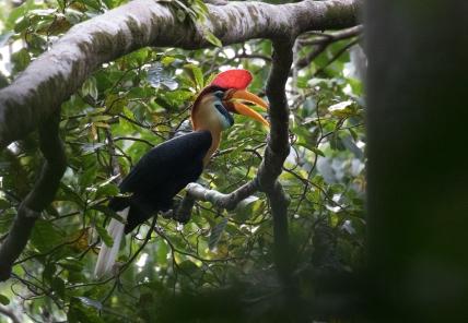Sulawesi Hornbill