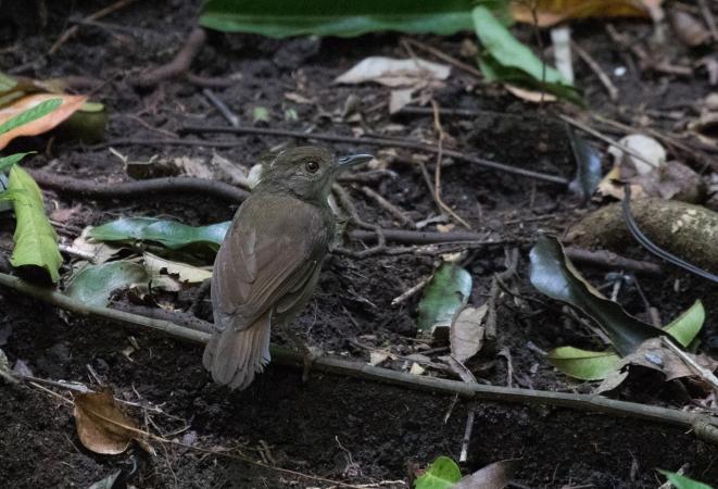 Sulawesi Babbler