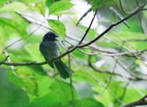 Cerulean Paradise Flycatcher