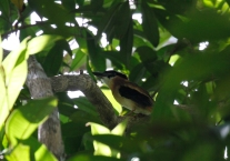 Sangihe Lilac Kingfisher