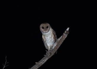 Tanimbar Masked Owl