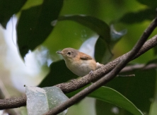 Rufous-sided Gerygone