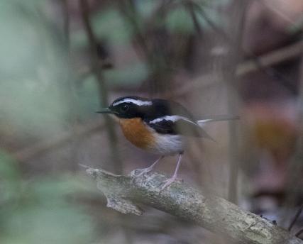 Tanimbar Flycatcher