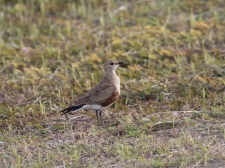 Australian Pratincole hanging out at the airport before our flight out!