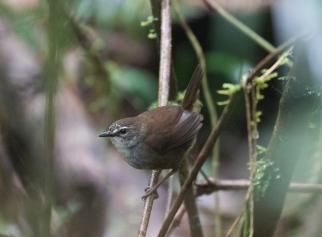 Buru Bush-Warbler