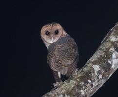 Buru Masked Owl