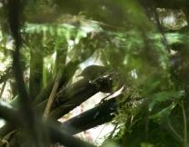 Seram Bush Warbler