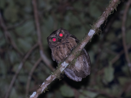 Seram Moluccan Scops-Owl