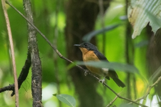 Cinnamon-chested Flycatcher