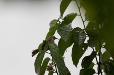 Olive Honeyeater
