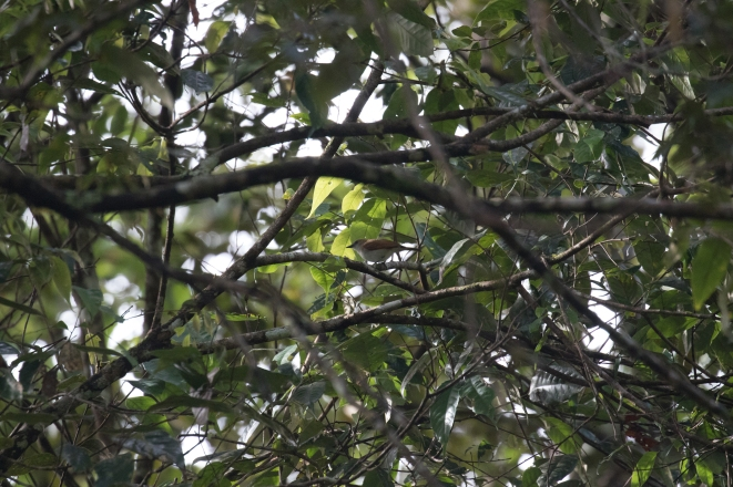 Bicolored White-eye, our last target bird!