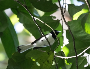 White-tailed Monarch