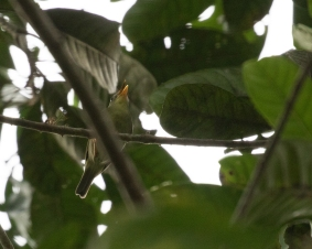 Biak Leaf-Warbler