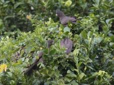 """""""Comoro"""" Lesser Vasa Parrot (ssp sibilans)"""