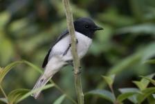 Comoro Cuckooshrike