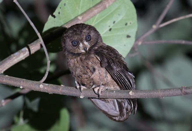 Moheli Scops-Owl