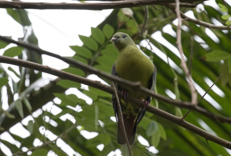 Comoro Green Pigeon