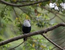 Comoro Blue Pigeon