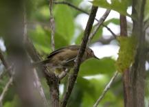 Benson's Brush Warbler