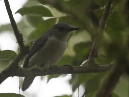 Comoro Cuckooshrike ssp moheliensis