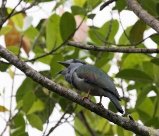 Anjouan Cuckoo-Roller