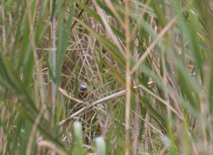 Gray-banded Munia