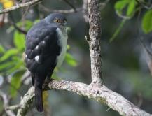 Anjouan Sparrowhawk