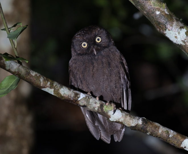 Anjouan Scops-Owl