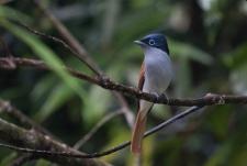 Mascarene Paradise Flycatcher