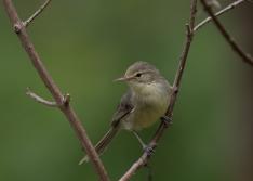 Rodrigues Warbler