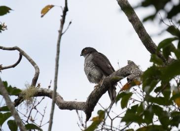 France's Sparrowhawk