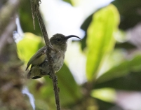 Common Sunbird Asity