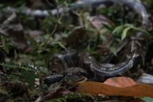Madagascar Tree Python