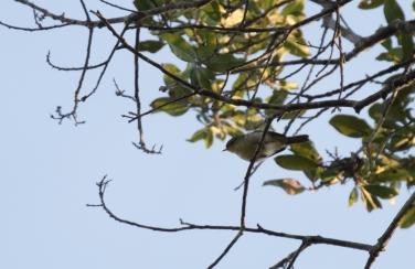 Cryptic Warbler