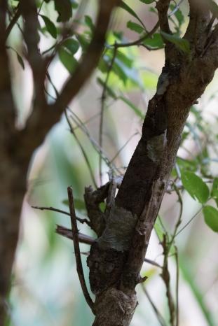 Leaf-tailed Geckoo