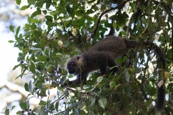 Sanford Brown Lemur