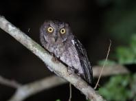 Rainforest Scops-Owl