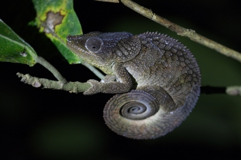 Amber Mountain Chameleon