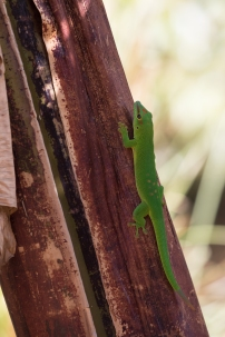 Giant Day Geckoo