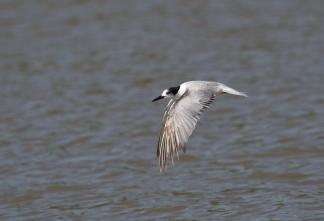 presumed Saunders's Tern