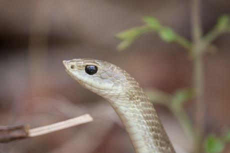 Blonde Hognose Snake
