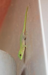 Koch's Day Gecko