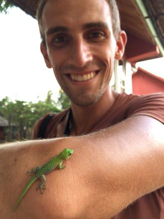 baby Koch's Day Gecko