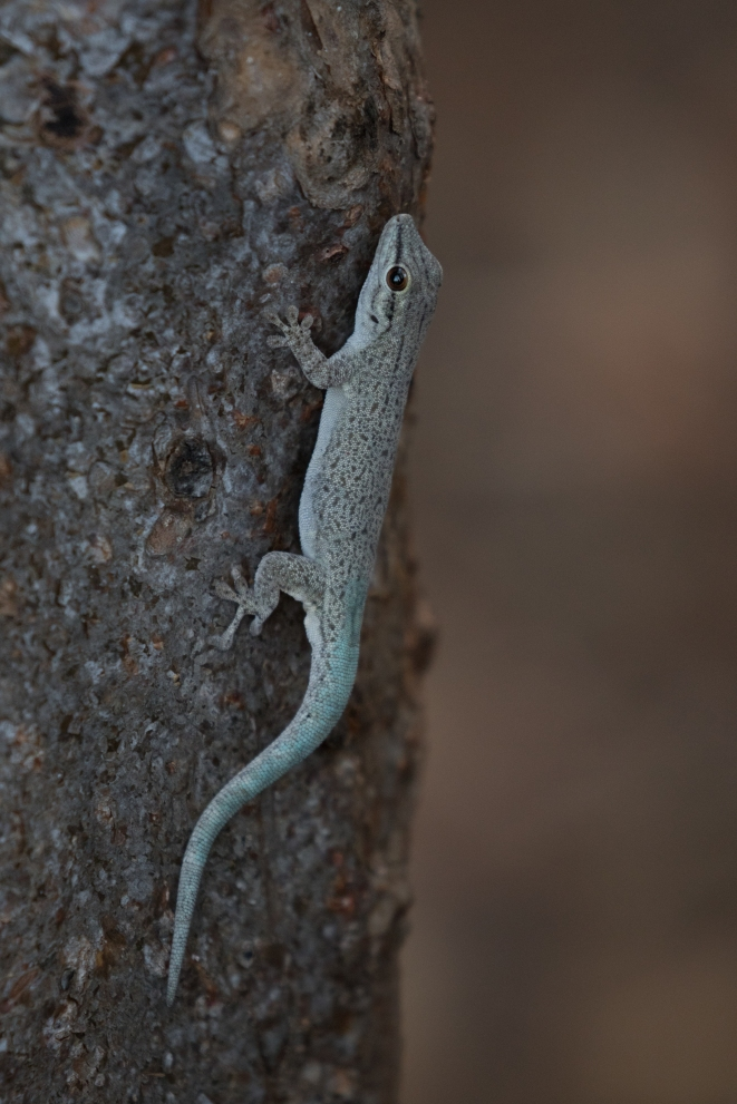 Thicktail Day Gecko