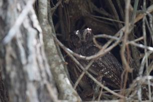 Totoroka Scops-Owl